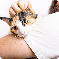 Adopt A Pet :: Pebbles: Chill, Easy Sweetheart Calico - Brooklyn, NY