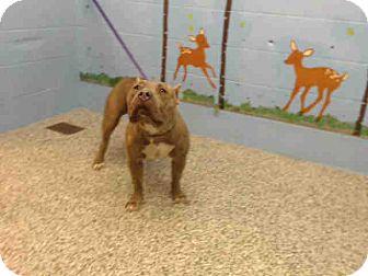 Pit Bull Terrier Mix Dog for adoption in San Bernardino, California - URGENT ON 9/10  San Bernardino
