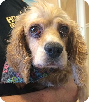 Cocker Spaniel Dog for adoption in Oak Ridge, New Jersey - Elizabeth