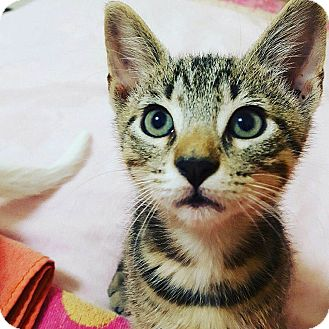 Domestic Shorthair Kitten for adoption in Chattanooga, Tennessee - Romeo