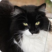 Domestic Mediumhair Cat for adoption in Greensboro, North Carolina - Midnight