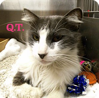Domestic Mediumhair Cat for adoption in El Cajon, California - Q.T.
