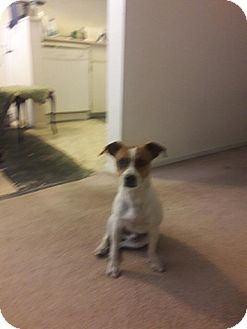 Terrier (Unknown Type, Small)/Jack Russell Terrier Mix Dog for adoption in Las Vegas, Nevada - Randy