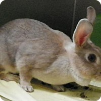 Chinchilla, American Mix for adoption in Lowell, Massachusetts - Sir Chubbles The First