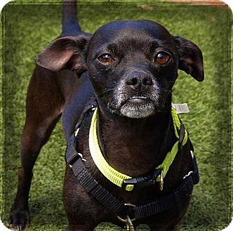 Chihuahua Mix Dog for adoption in Sedona, Arizona - Bear