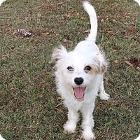 Adopt A Pet :: NEVAEH - Hartford, CT