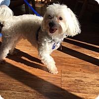Maltese Dog for adoption in Jamestown, Michigan - Sammie