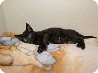 Domestic Shorthair Kitten for adoption in Hamilton, Ontario - Matteo