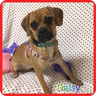 Pug/English Setter Mix Dog for adoption in Hollywood, Florida - Daisy