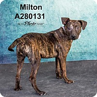 Catahoula Leopard Dog Dog for adoption in Conroe, Texas - MILTON