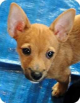 Terrier (Unknown Type, Small) Mix Puppy for adoption in Buena Park, California - Trudy