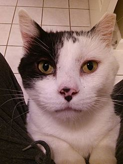 Domestic Mediumhair Cat for adoption in St. Louis, Missouri - Whitey