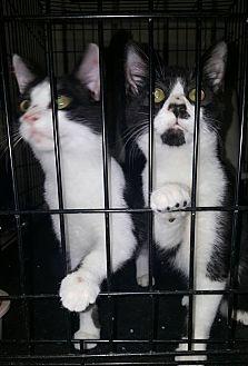 Domestic Shorthair Kitten for adoption in Albemarle, North Carolina - Jimmy Carter