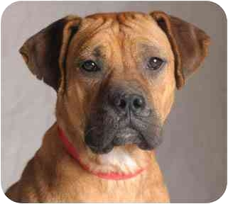Boxer/Bullmastiff Mix Dog for adoption in Chicago, Illinois - Hope