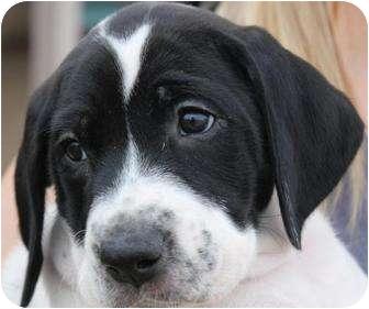 Venus | Adopted Puppy | Mesa, AZ | American Bulldog/German ...