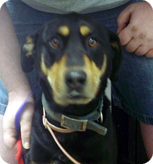 Doberman Pinscher/German Shepherd Dog Mix Dog for adoption in baltimore, Maryland - Rosco