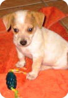 Chihuahua Mix Puppy for adoption in Phoenix, Arizona - Christian