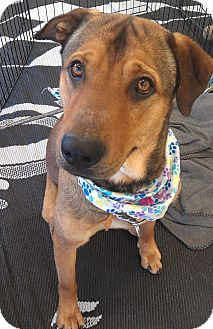 Belgian Shepherd/Rhodesian Ridgeback Mix Dog for adoption in Phoenix, Arizona - Buddy