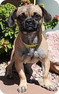 Pug/Beagle Mix Dog for adoption in Gilbert, Arizona - Ethel