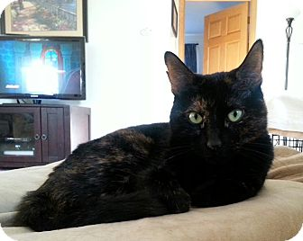 Domestic Mediumhair Cat for adoption in Rockaway, New Jersey - ***Bailey***