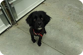Cocker Spaniel/Lhasa Apso Mix Dog for adoption in Chewelah, Washington - Kody