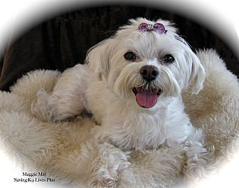 Maltese Dog for adoption in Encino, California - Maggie May