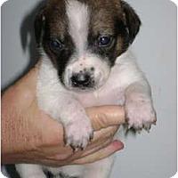 Adopt A Pet :: Bernard - Arlington, TX