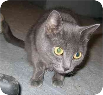 Domestic Shorthair Cat for adoption in Feeding Hills, Massachusetts - Amelia