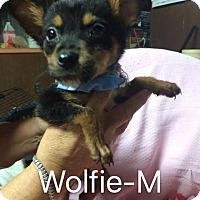 Adopt A Pet :: Wolfie - Buffalo, NY
