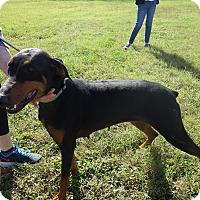 Adopt A Pet :: Sasha - McAllen, TX