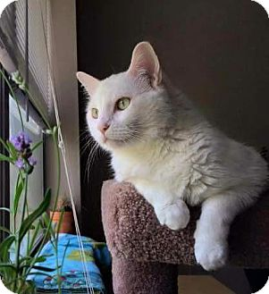 Domestic Shorthair Cat for adoption in Valley Park, Missouri - Declawed Daisy