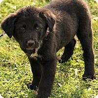 Adopt A Pet :: Abbott - Plainfield, CT