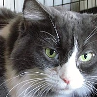 Domestic Longhair Cat for adoption in Scottsdale, Arizona - Dakotah