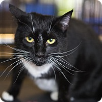 Domestic Shorthair Cat for adoption in Mooresville, North Carolina - A..  Chenery