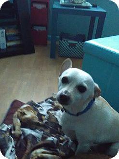 Chihuahua Mix Dog for adoption in Loveland, Colorado - JUNIOR