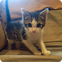 Domestic Shorthair Kitten for adoption in Whitestone, New York - Alexander