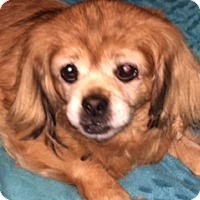 Pekingese/Dachshund Mix Dog for adoption in Oxford, Mississippi - Sassy - Foster Care
