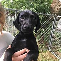 Adopt A Pet :: Tyson - Palatine/Kildeer/Buffalo Grove, IL
