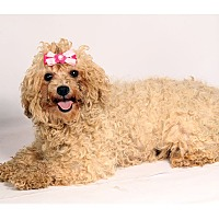 Adopt A Pet :: Pearl Poodle - St. Louis, MO