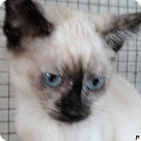 Adopt A Pet :: Felicia - Germantown, MD