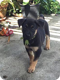 German Shepherd Dog Puppy for adoption in Lithia, Florida - Sara pup Sandie -16 (adoption pending)