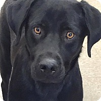 Labrador Retriever Dog for adoption in Las Vegas, Nevada - Puff