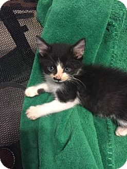Domestic Shorthair Kitten for adoption in Wichita, Kansas - Groucho
