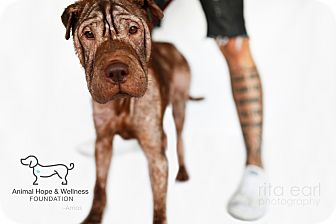 Shar Pei Mix Dog for adoption in Sherman Oaks, California - Amos