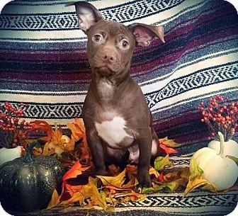 Basenji/Chihuahua Mix Puppy for adoption in sylmar, California - Masher