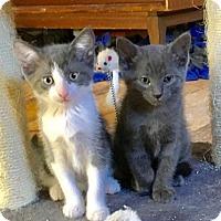 Adopt A Pet :: Kalameet - Sterling Heights, MI