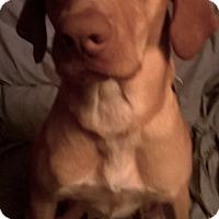 Adopt A Pet :: Gibson - Palatine, IL