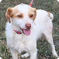 Terrier (Unknown Type, Small) Mix Dog for adoption in Pulaski, Tennessee - Cooper