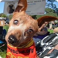 Adopt A Pet :: Rusty - Sacramento, CA