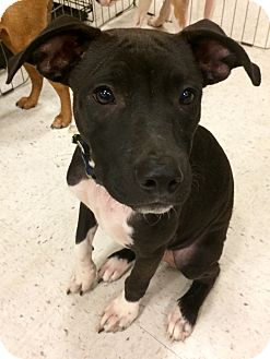 Labrador Retriever Mix Dog for adoption in Manchester, Connecticut - Pirate in CT